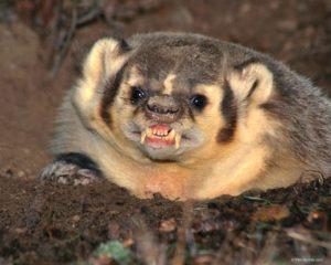 Fierce Badger!